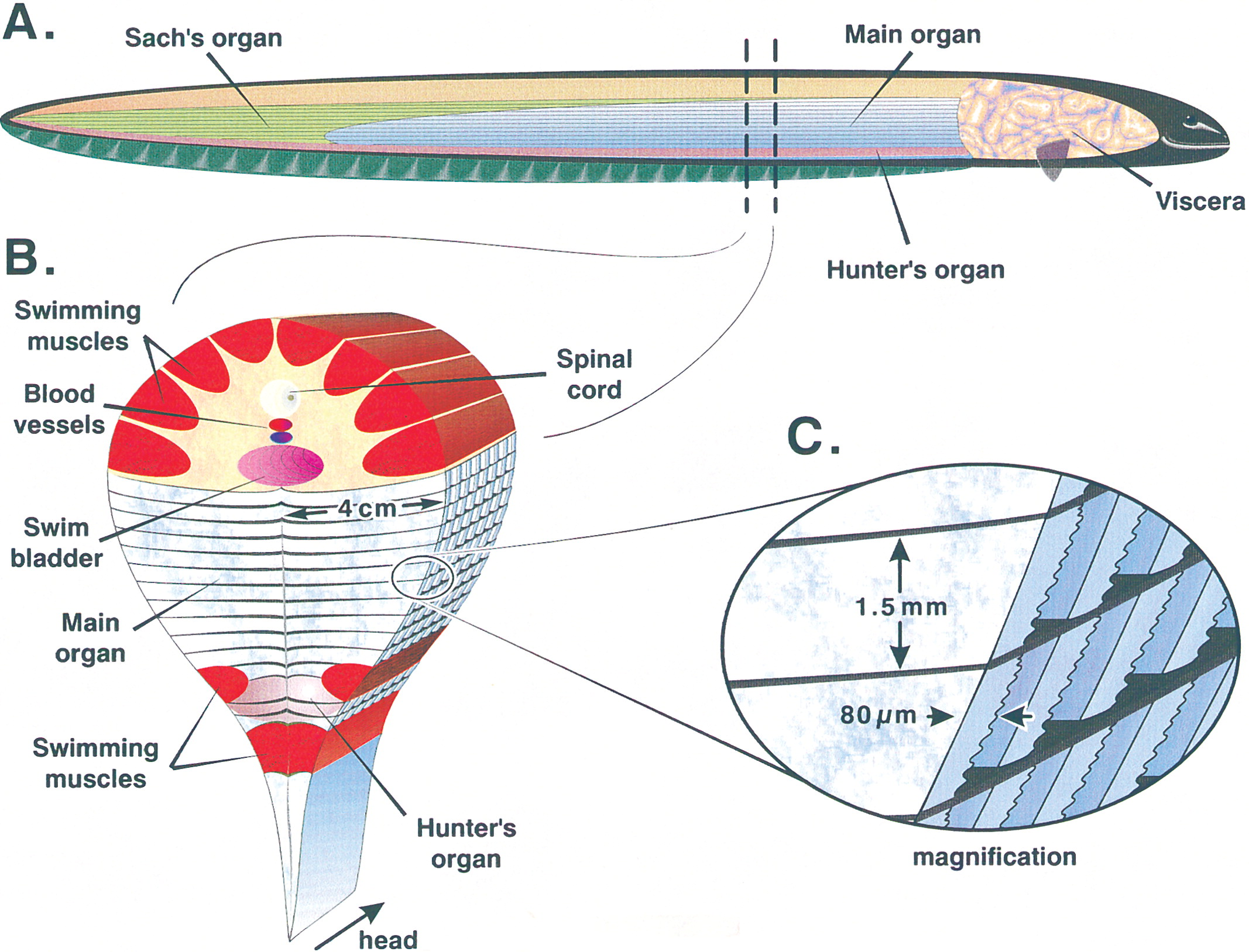anatomy of electric eel The electric eel generates large electric currents by way of a highly specialized nervous system that has the capacity to synchronize the activity of disc-shaped, electricity-producing cells .