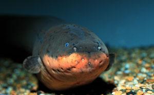 Electric_eel